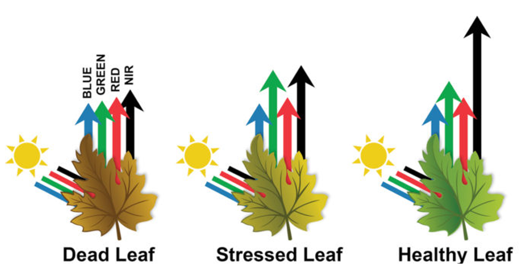 Reflection and absorption of wavelengths in dead, stressed or healthy leaves.